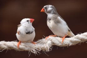 Two Zebra finches on a rope having a chat